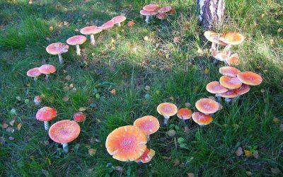 ✦ Anel de Cogumelos ou Anel de Fadas